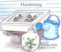 HARDENING IN COLDFRAME