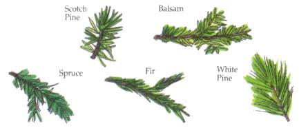 SCOTCH PINE, SPRUCE, FIR, BALSAM, WHITE PINE