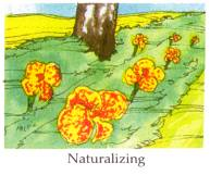 naturalizing bulbs in woodland or lawn
