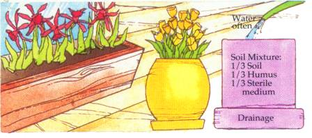 growing bulbs in containers