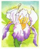 favorite summer flowering bulbs iris