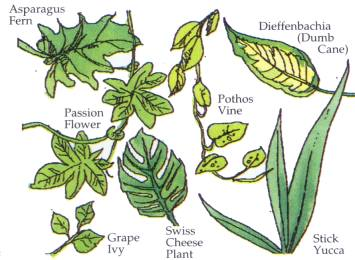 ASPATAGUS FERN, PASSION FLOWER, GRAPE IVY, SWISS CHEEZE PLANT, POTHOS VINE, DIEFFENBACHIA - DUMB CANE, STICK YUCCA