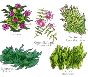 LANTANA, CORONILLA VARIA -CROWN VETCH, SANTOLINA-LAVENDER COTTON, JUNIPERUS - JUNIPER, FETUCA - BLUE FESCUE