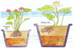 Planting  aquatic water plants